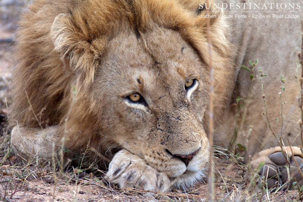 Male lion seen at Ezulwini River Lodge believed to be a leader of the Singwe Pride