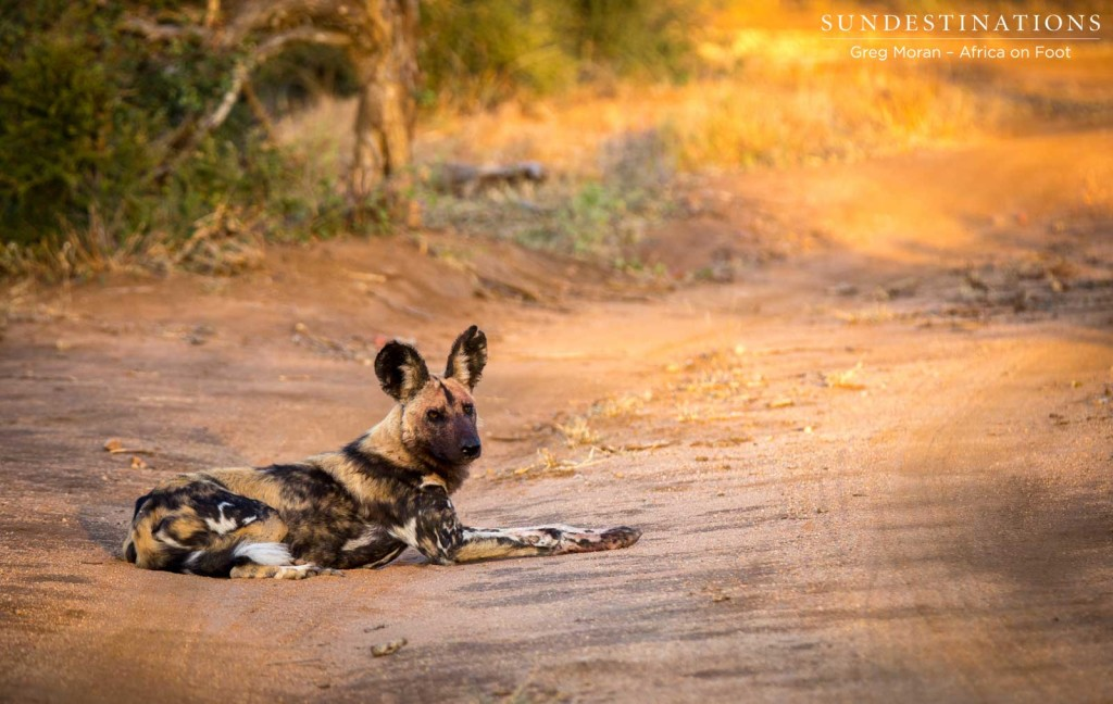 Wild dogs relaxing in the golden light
