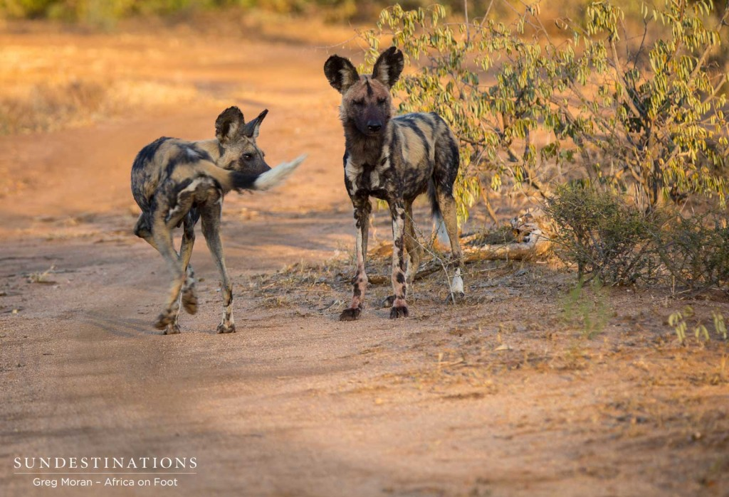 Two of the 3 wild dogs seen lately in Klaserie