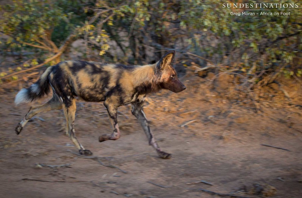 African wild dogs on the move