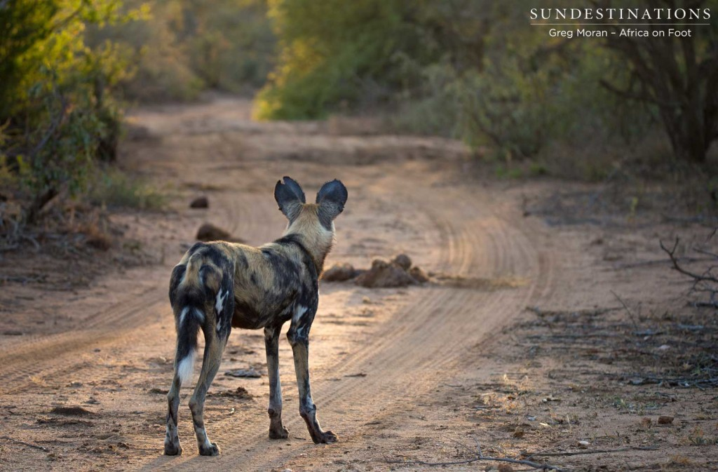 African wild dogs on the hunt in Klaserie