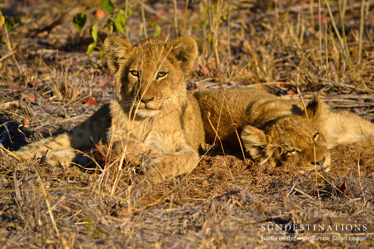 Sabi Sand Lion Cubs Put on a Show for Umkumbe Rangers