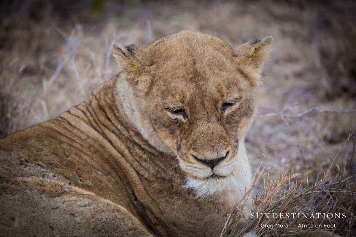 Ross Pride Lioness