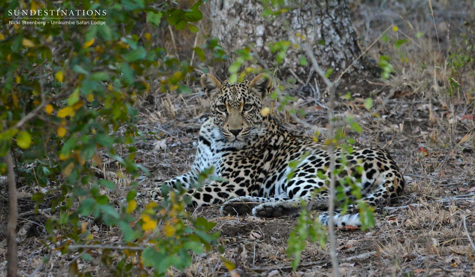 Sabi Sand Leopard's Stroll Past Umkumbe Property