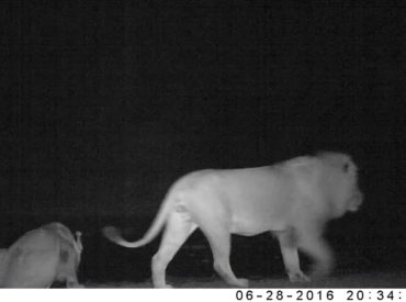Every week we are amazed by what we find on our hidden camera trap reels. nThambo Tree Camp guide, Bjorn, has made it his personal mission to record what goes on in the Klaserie while nobody is watching, and yesterday's weekly video post featuring the results revealed some great wildlife activity. We were excited (as […]