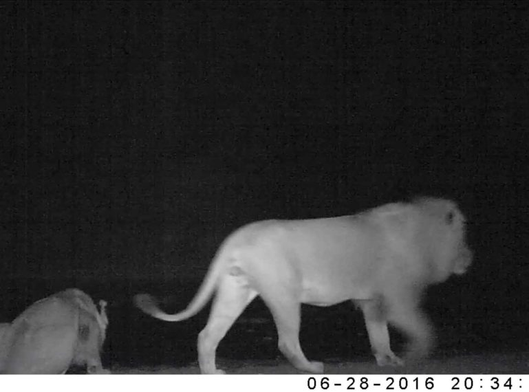Mapoza Male Lions on Camera Trap Doing… What?