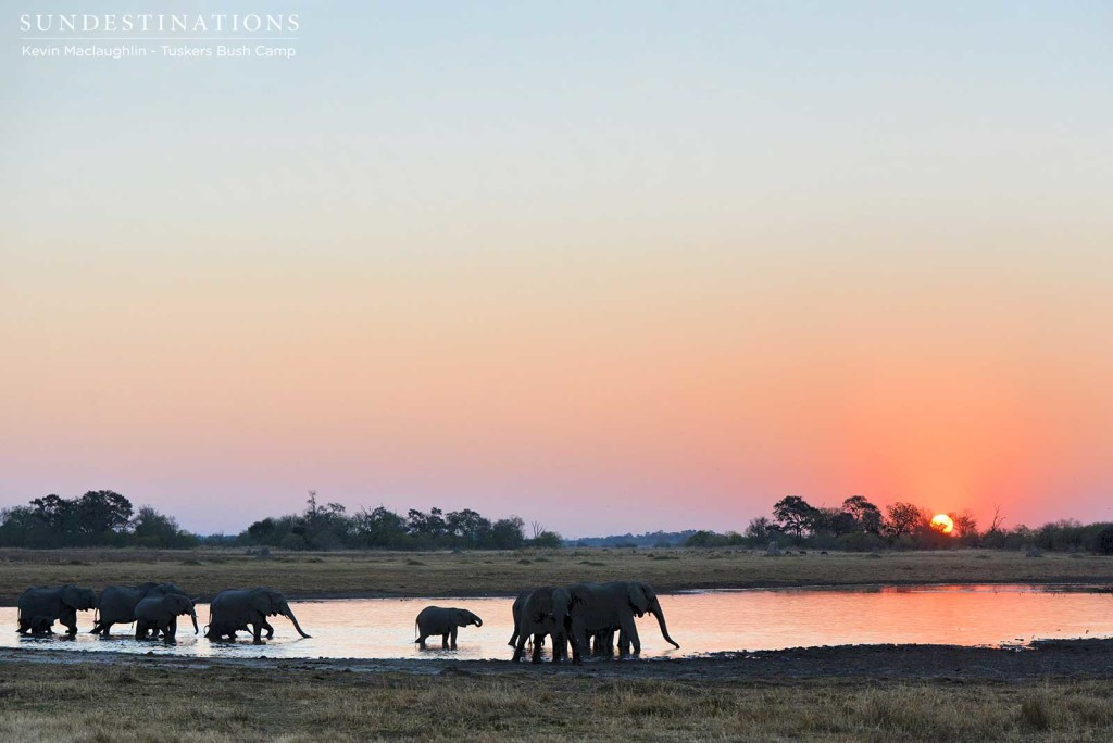 A herd of elephants gather at sunset to drink at a pan in the Tuskers concession on the eastern edge of Moremi Game Reserve