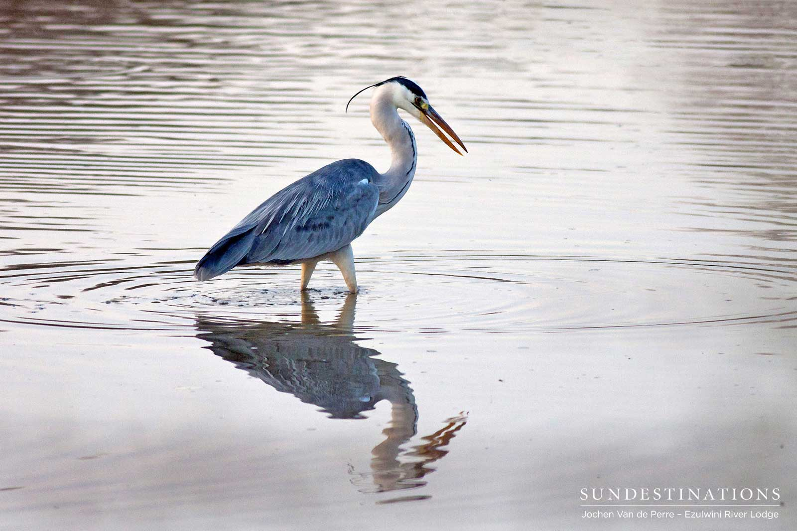 A grey heron contemplates its handsome reflection in the rippled surface of the water