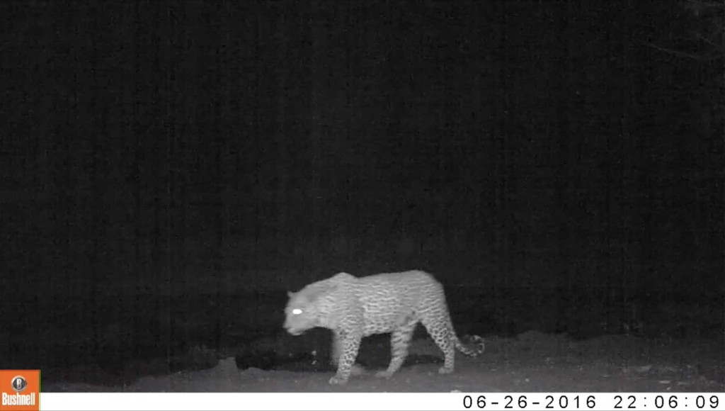 A leopard stalks passed the camera trap set up at Twin Pans