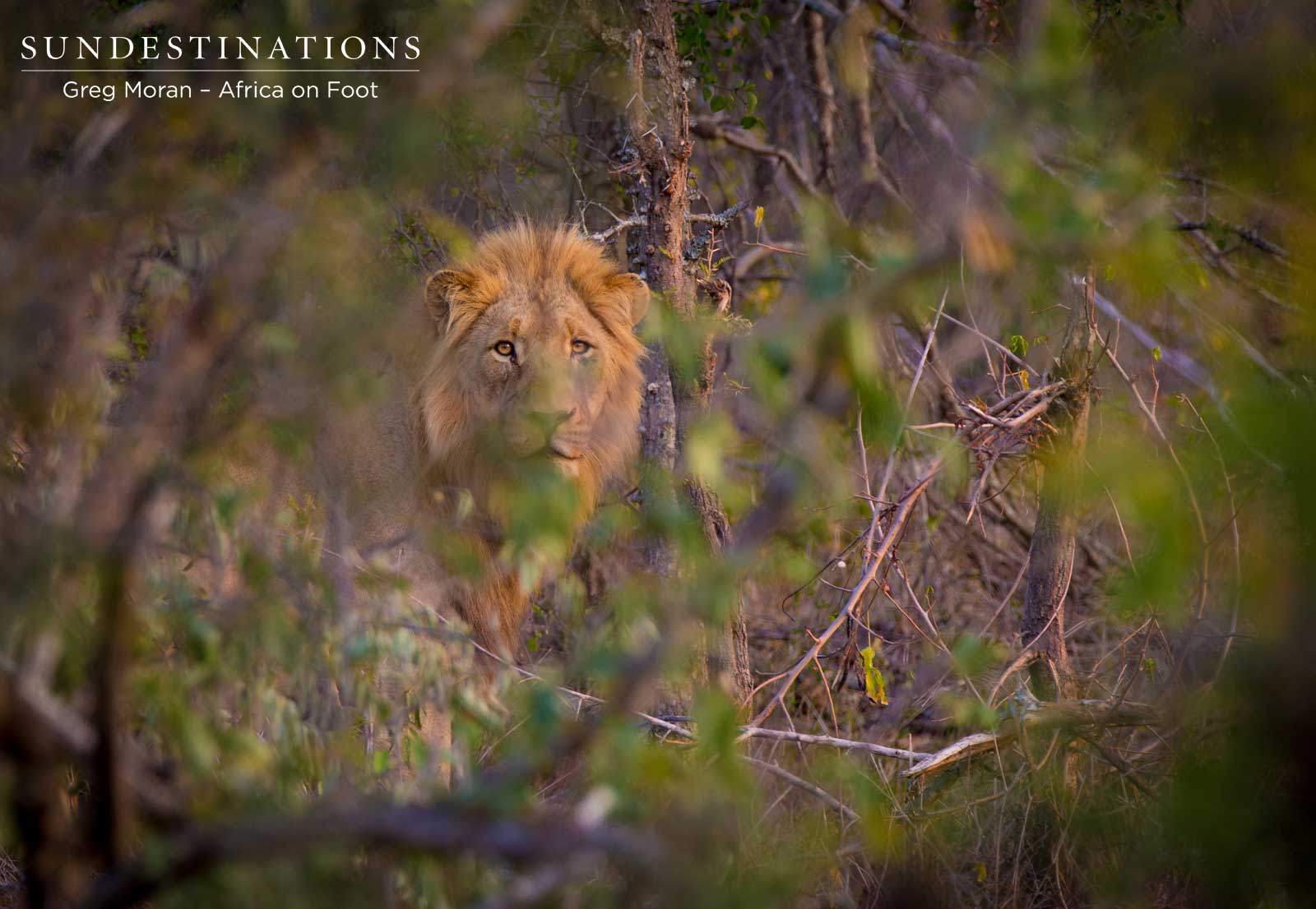 WHAT? Two New Male Lions Mate with Ross Lionesses