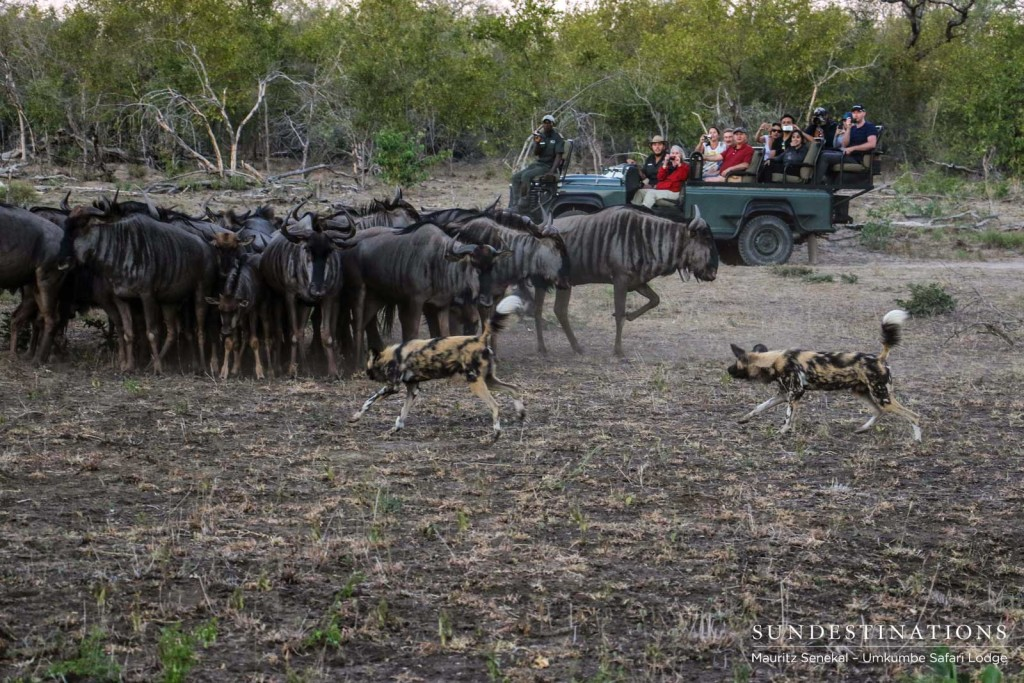 Umkumbe guests look on as a pack of African wild dogs intimidate a herd of wildebeest in the Sabi Sand