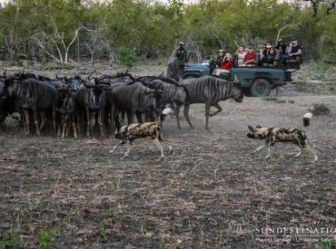 Right place, right time! Umkumbe Safari Lodge guests witnessed this unforgettable sighting as African wild dogs chase wildebeest as they try and target a weak link in the protective barrier of horned antelope – a rare and awe-inspiring act of the wild only a fortunate few get to see in action. The African wild dog […]