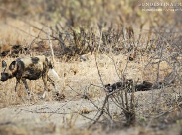 Last year we were lucky enough to have an African wild dog den established near to Africa on Foot and nThambo Tree Camp, and for a period of time we got to enjoy the adorable presence of a couple of wild dog pups stumbling around the den and being fed regurgitated meat by the adult […]
