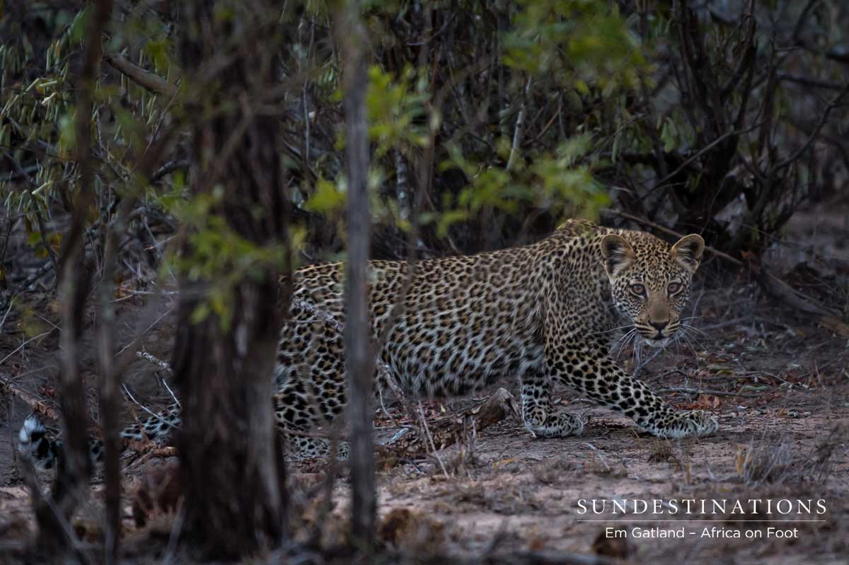 nThambo's Camera Trap Secrets: Leopard with Cubs