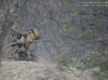 The little African wild dogs we've been going, well, wildabout became a spectacle of 'ooh's and 'aah's yesterday afternoon as guests from nThambo Tree Campenjoyed watching them emerge from the den. The 3 adult dogs of the pack were reportedly seen on the hunt a little way away, and when we arrived at the den […]