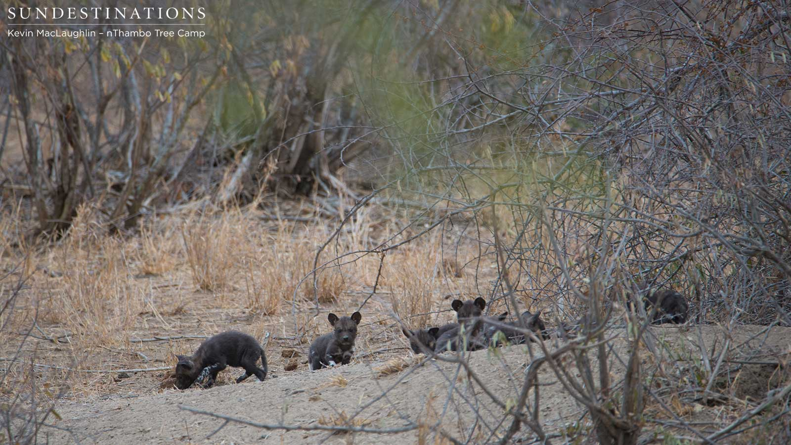 Wild Dog Pups Come Out of the Den
