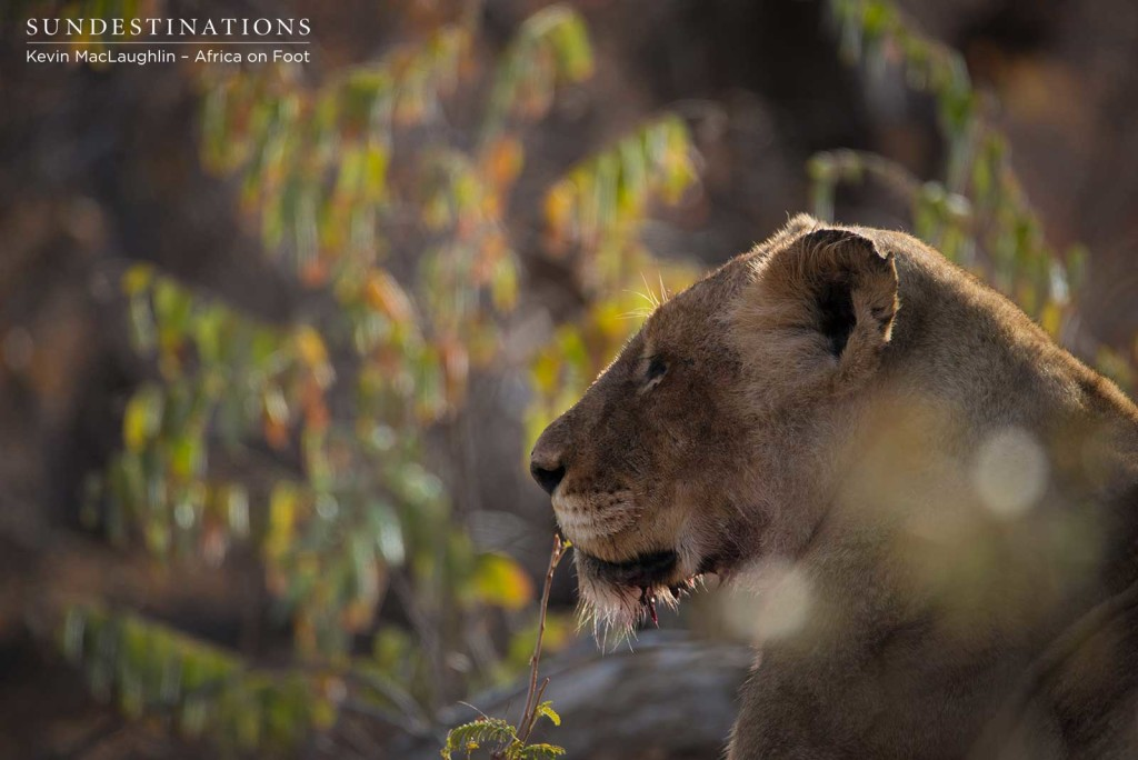 Ross Breakaway resting while Mapoza males took over their kill