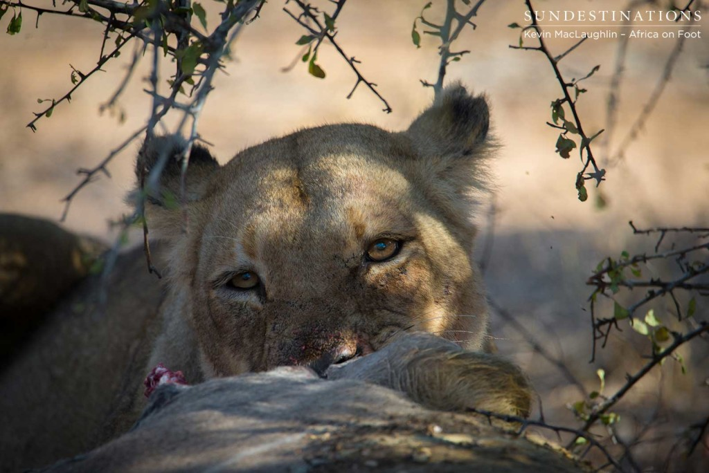 Ross Breakaway lioness getting tucked into the kudu they killed