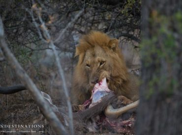 Lion tension continues in the Klaserie! The arrival of the Mapoza male lions sent things into a tailspin in the kingdom of the Trilogy males. Since this pair of unknown lions, now known as the Mapozas, arrived on the block we've seen them mating with the Ross Breakaway lionesses, Mabande lying low and then emerging […]