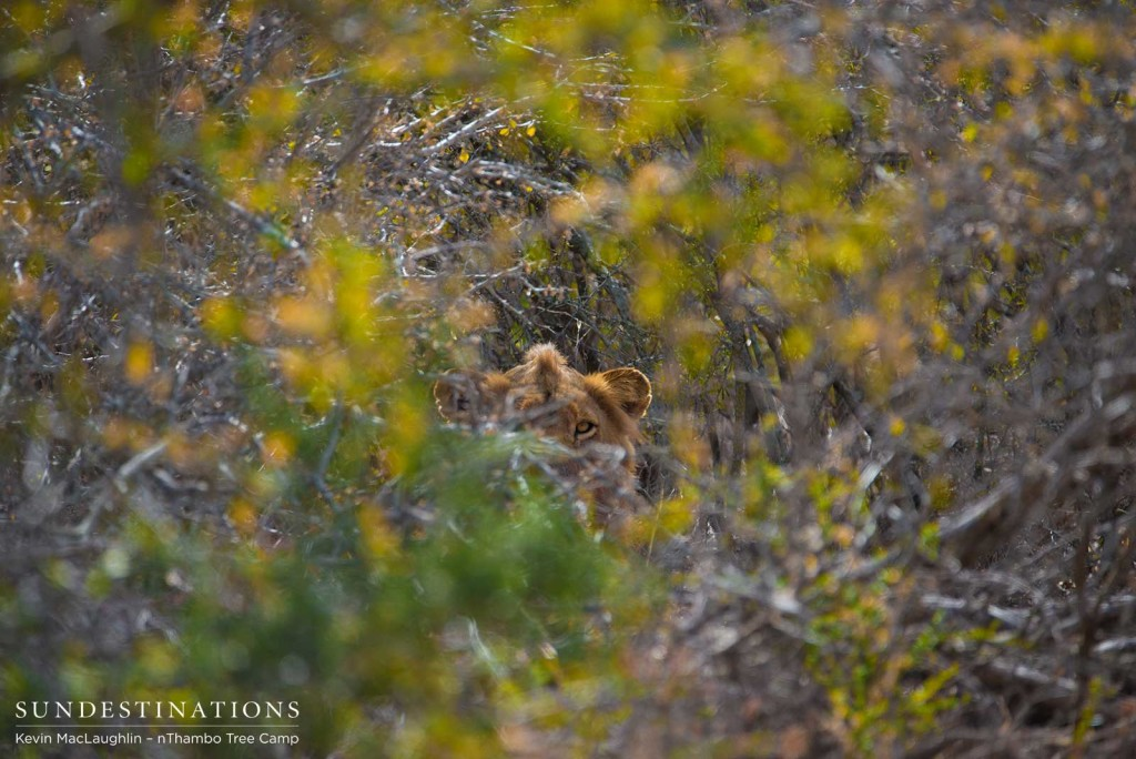 Mapoza male lion staring through the thicket