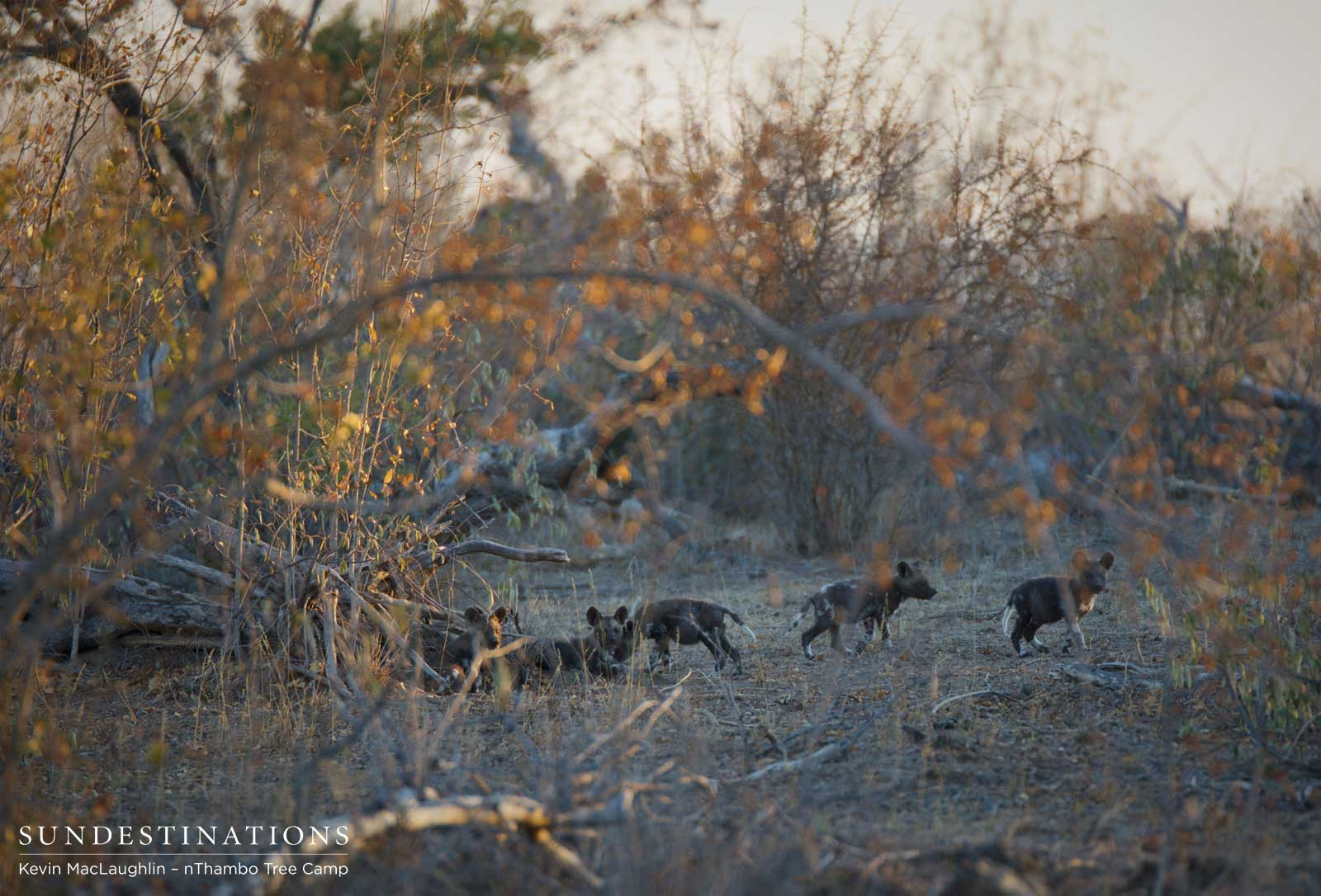 Wild dog pups come out to play!