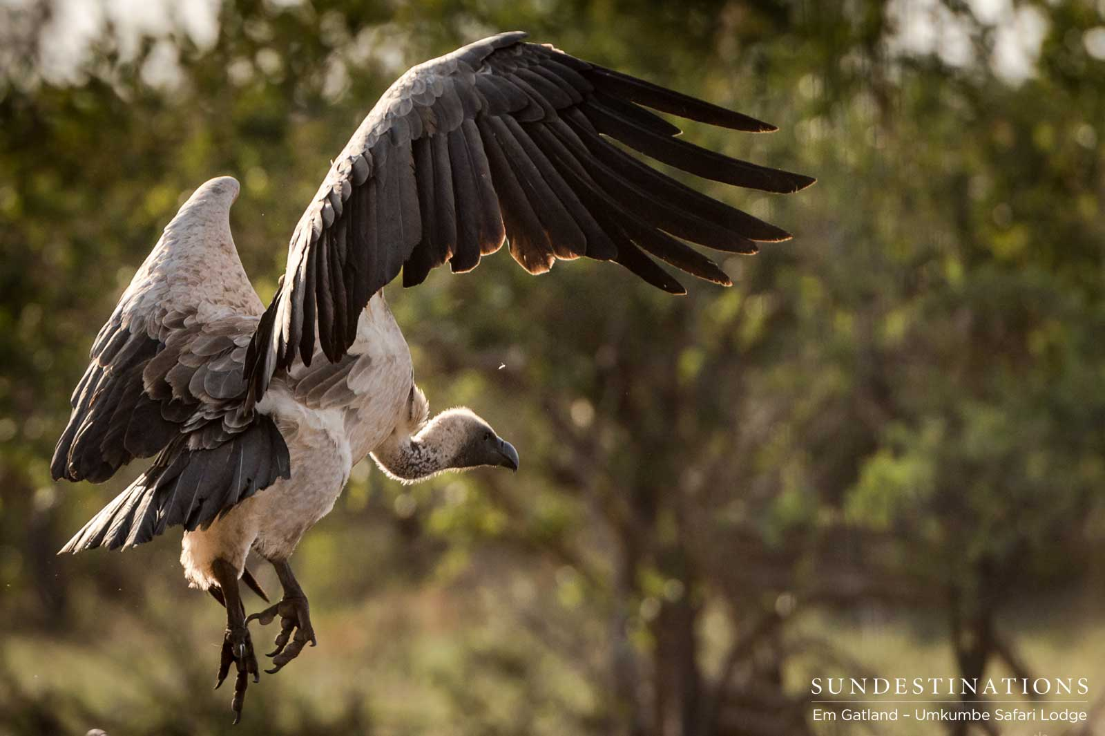 A white-backed vulture closes in on an abandoned kill