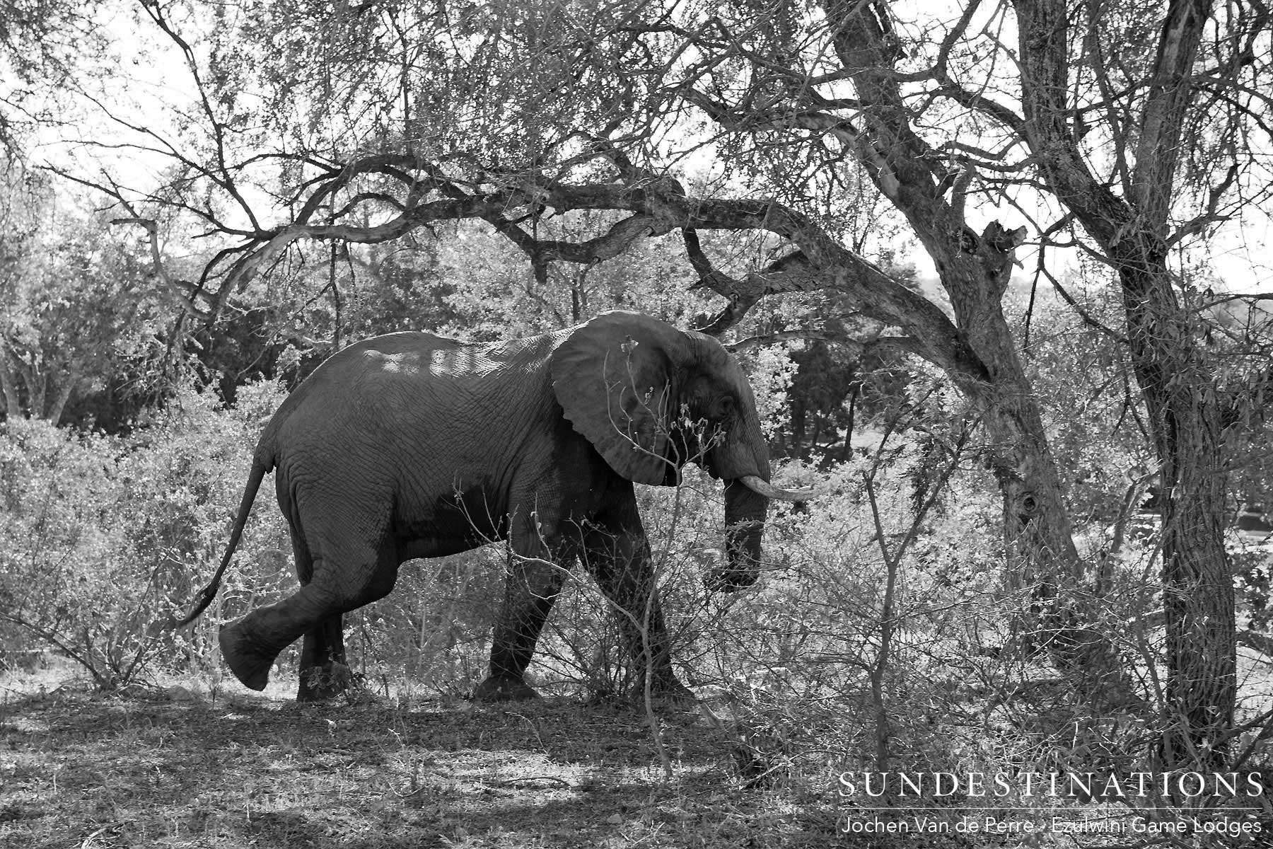 Elephant on Camera Trap