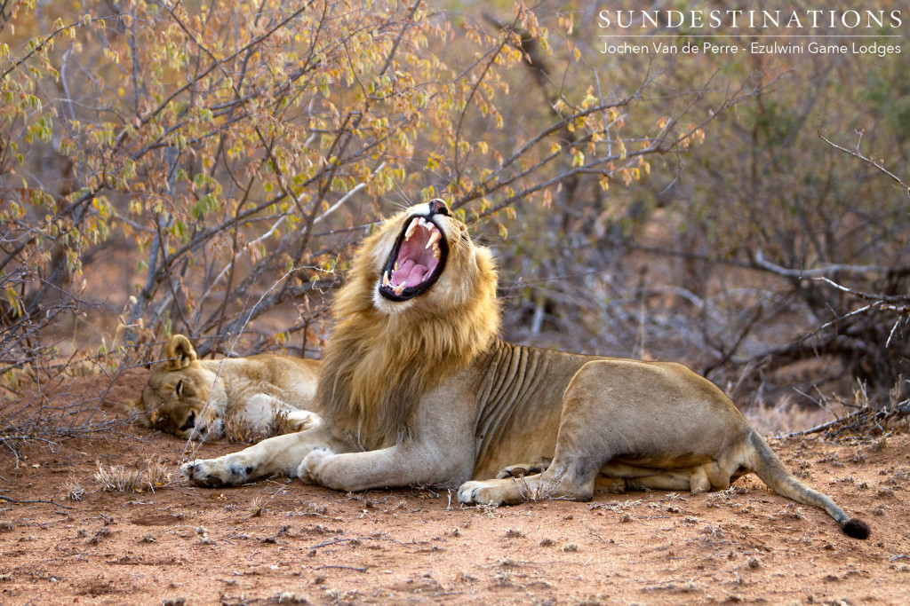 Singwe Pride mating pair near Ezulwini Billy's Lodge