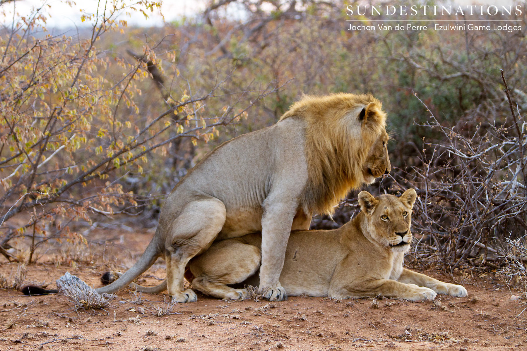 Balule Lion Fights & Singwe Pride Mating