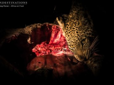 The weekend brought about some excellent safari experiences for guests at Africa on Foot and nThambo Tree Camp in the Klaserie, especially when it comes to the elusive leopard! One of the territorial females in the area, known as Ross Dam, was spotted with both of her cubs by guides Mike and Greg (aka. The […]