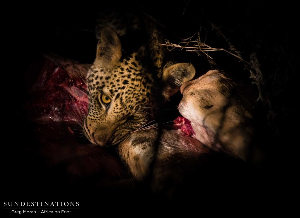 Ross Dam's female cub feasting on an impala kill