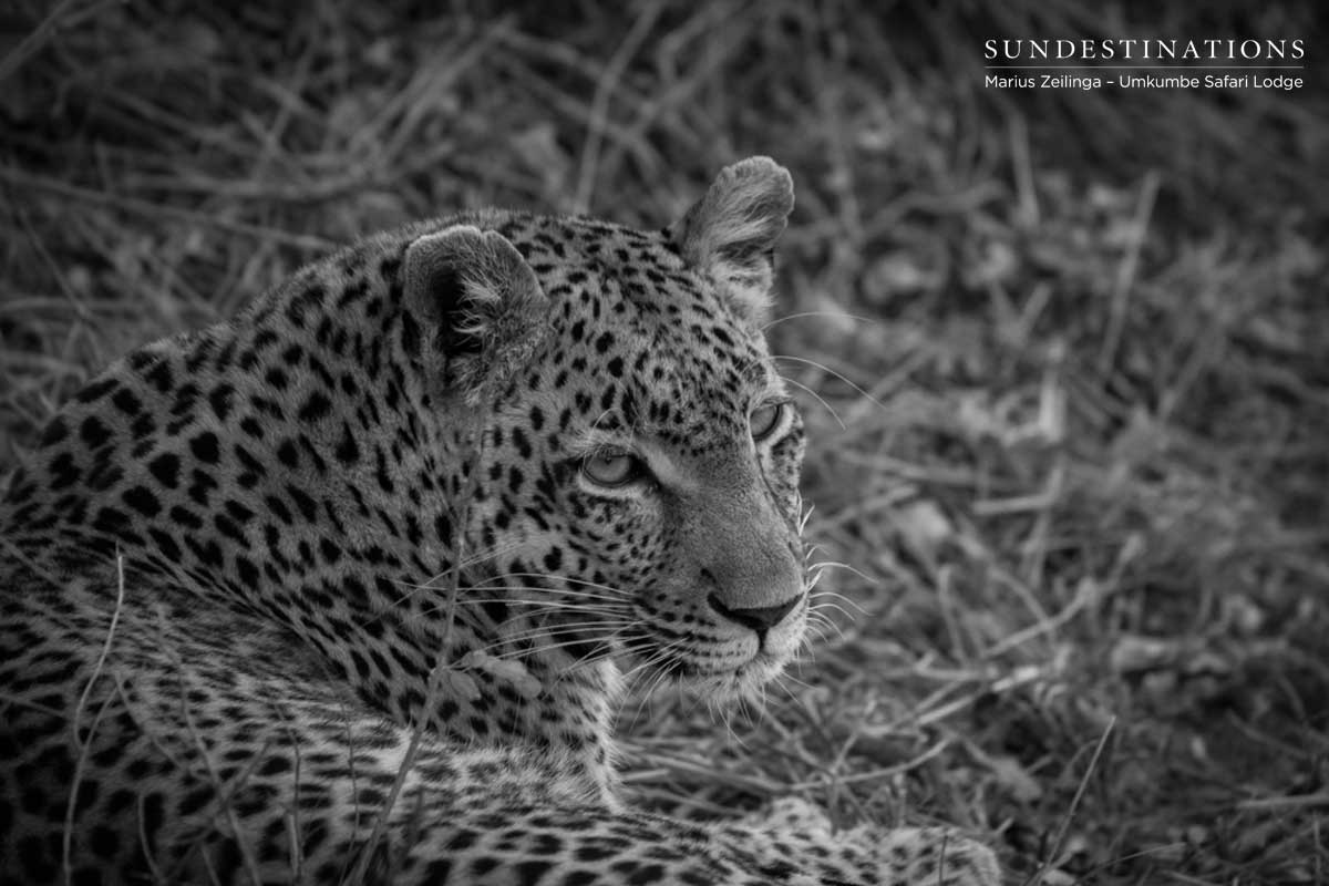 Umkumbe Leopard Catch Up With Ranger Marius
