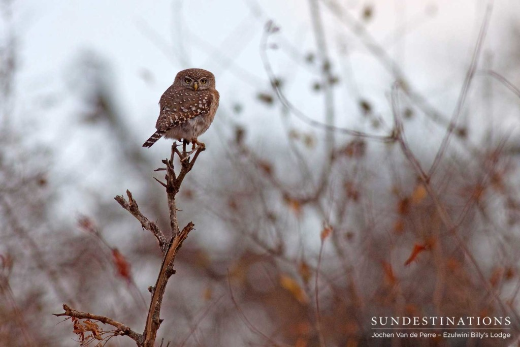 A pearl-spotted owlet braces against the cold winter morning chill as it traps air between its feathers and subsequently doubles in size
