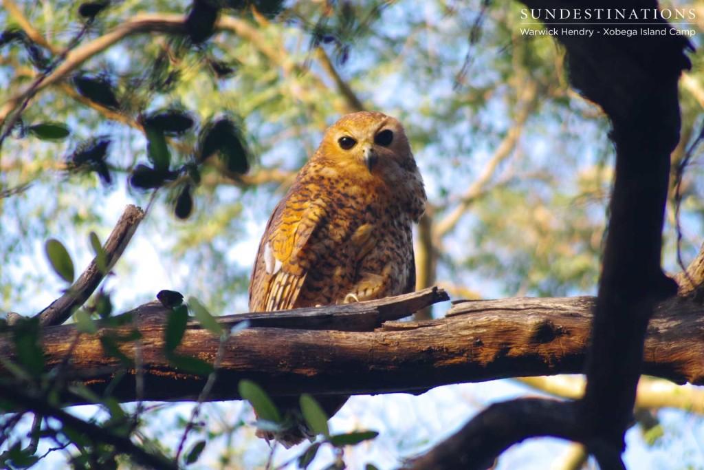Perching Pel's Fishing Owl