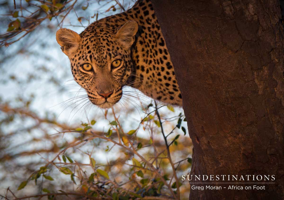 The Case of the Stolen Kill, Leopard Cubs and Hyena