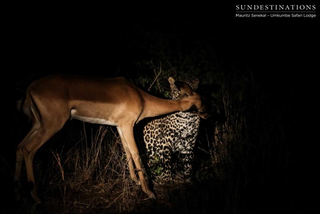 The perfect kill - Tatowa effortlessly suffocates an impala