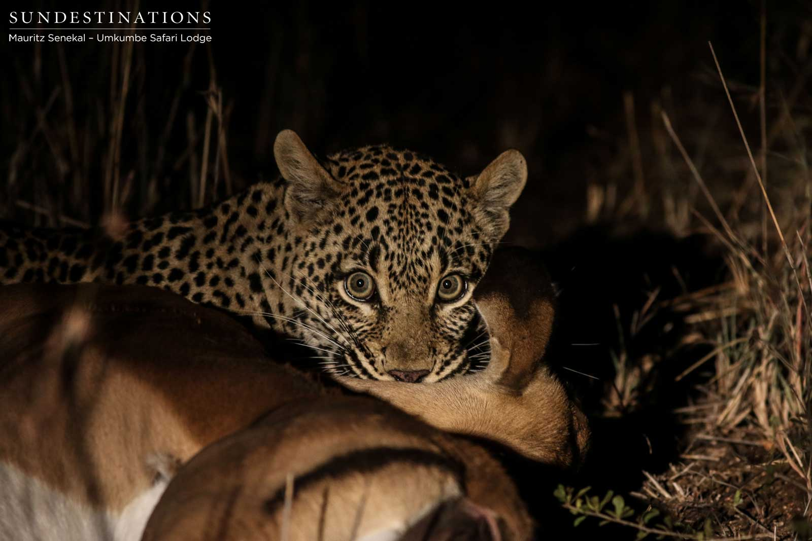 Leopard Leaps to Kill Impala at Umkumbe Safari Lodge