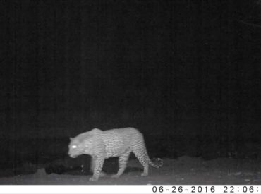 This is the second instalment of a video blog series dedicated to what our rangers capture on camera traps around Africa on Foot and nThambo Tree Camp and at the surrounding pans and waterholes. It was a busy week at Twin Pans, which is where nThambo guide, Bjorn, positioned his camera trap, and thanks to […]
