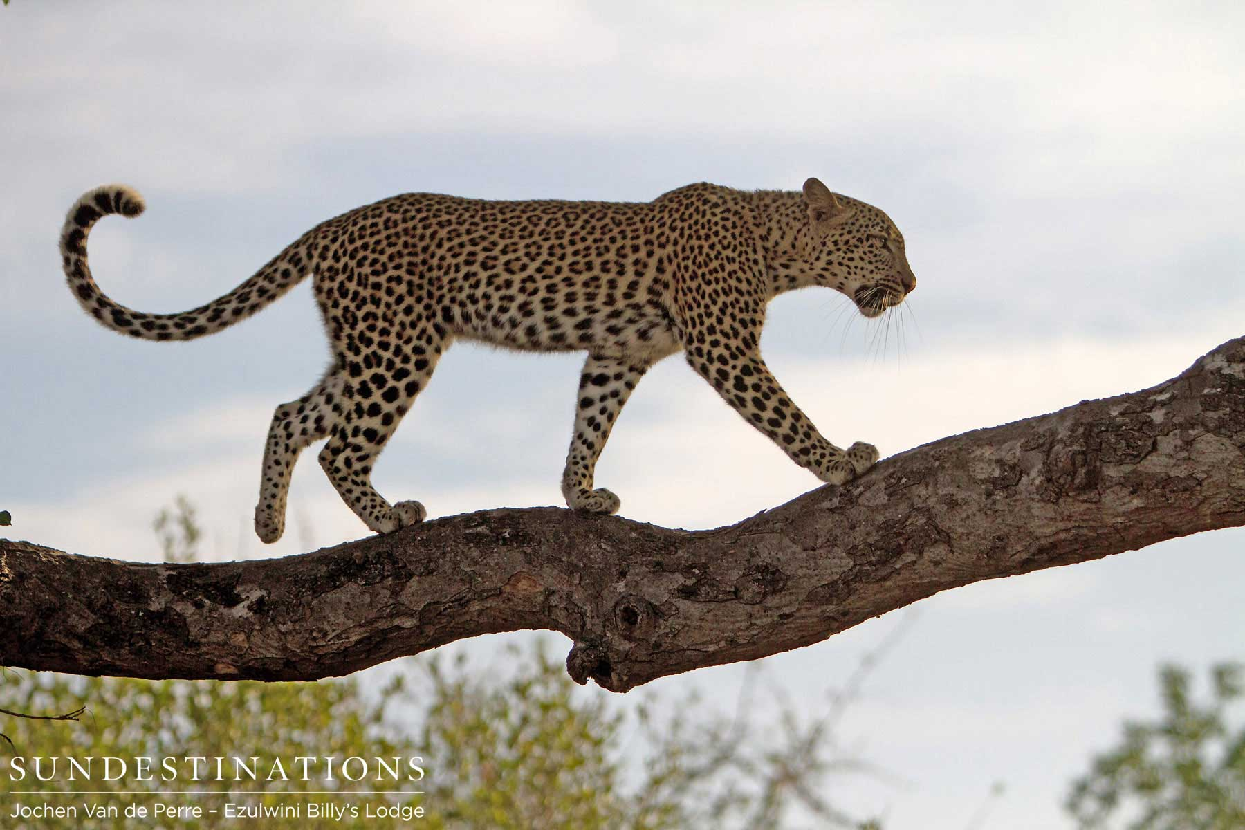Week in Pictures: A Calendar of Kruger Leopards