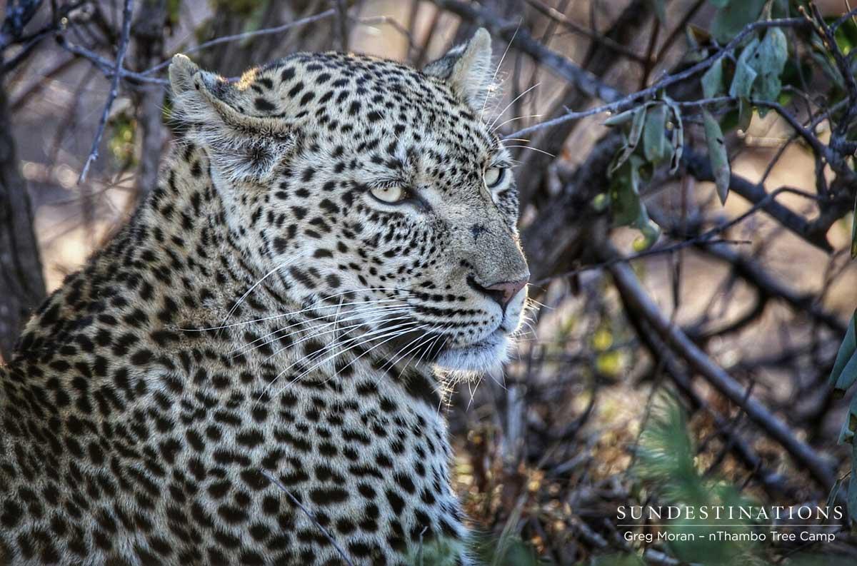 nThambo Leopard