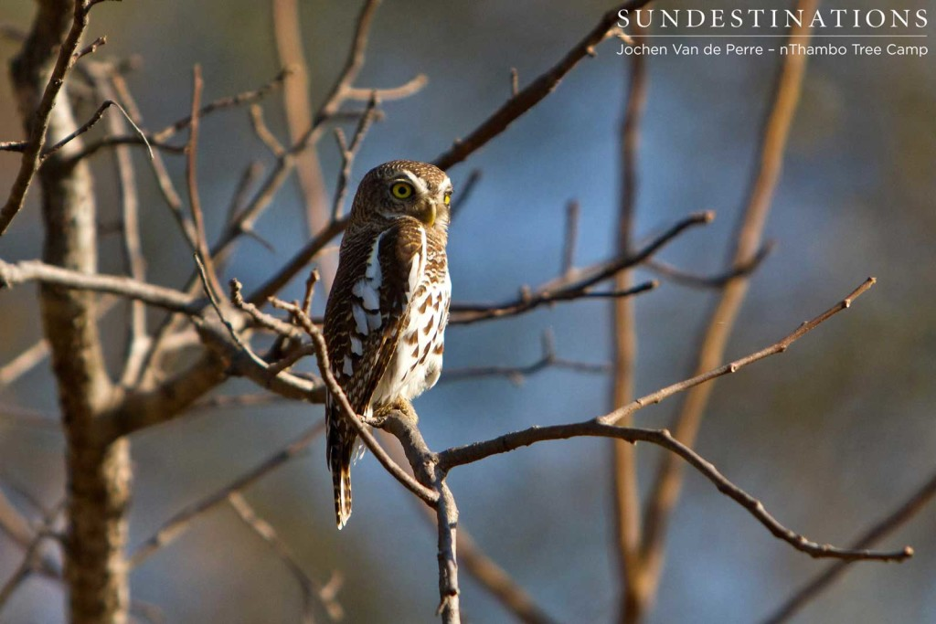 An African barred owlet appears full of character as it raises its brow and glances over its shoulder at the photographer