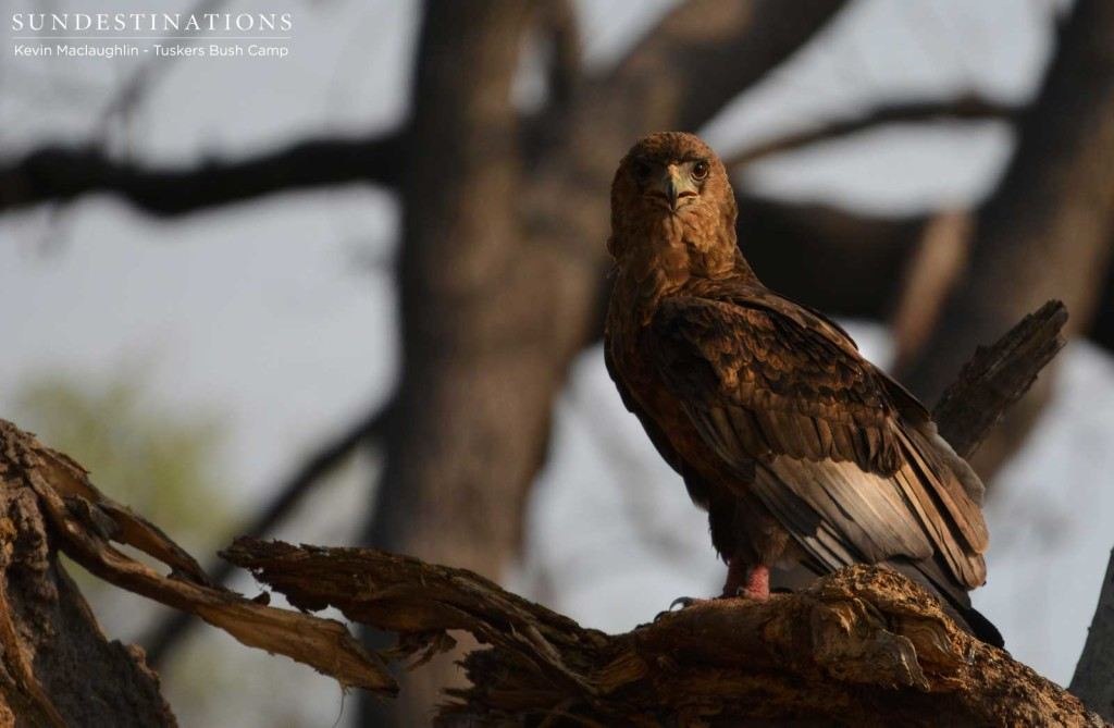 A juvenile bateleur starts to show its adult colours in its blushing feet, but still has a long way to go to transform its magnificent adult plumage