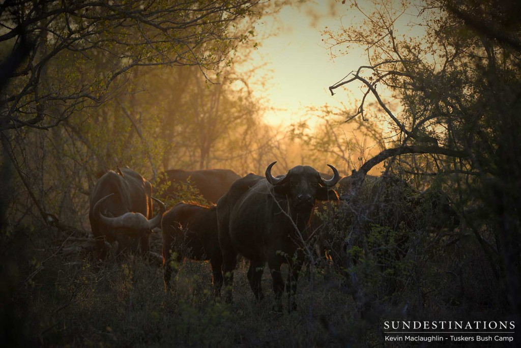 A herd of buffalo investigate the game viewer as Tuskers Bush Camp guests drive past at sunrise