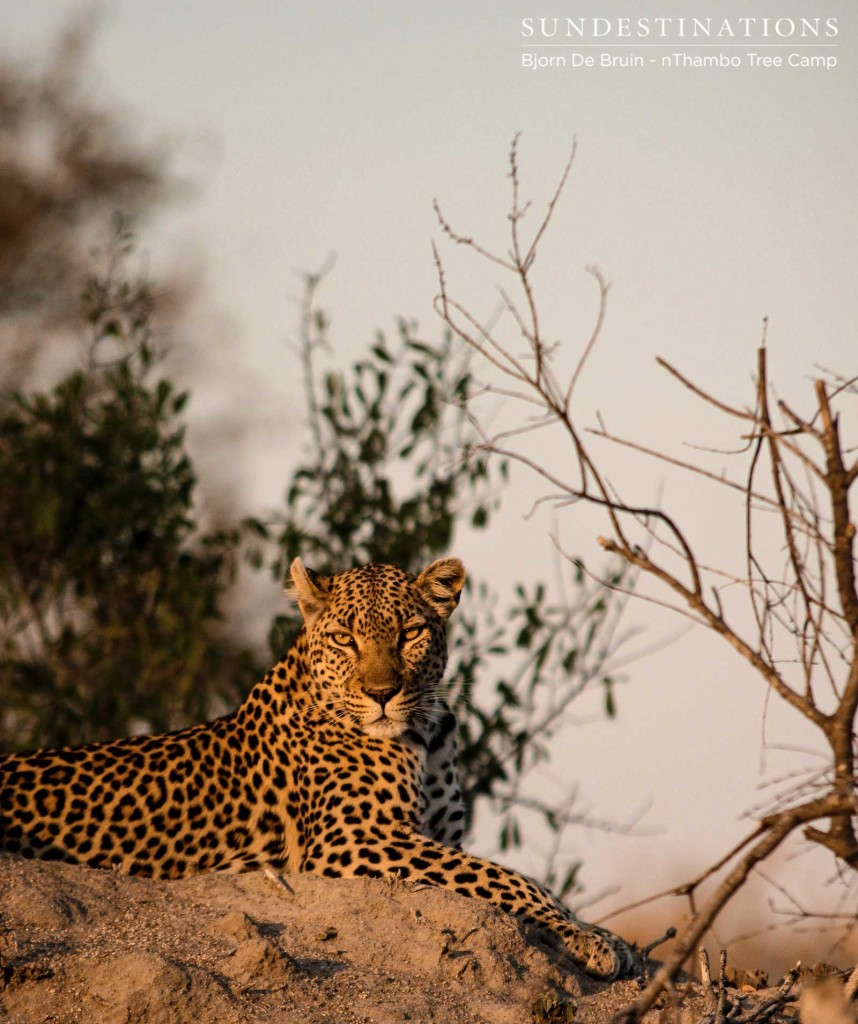 Cleo, one of Klaserie's territorial female leopards looks regal as she soaks up the sun on top of a termite mound
