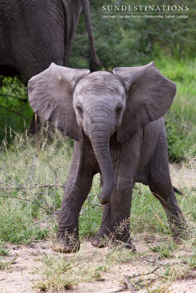 A baby elephant challenges its admirers with an irresistible ear-flap and trumpeting shriek