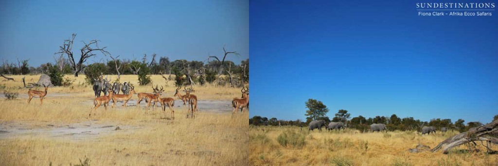 Impala and elephant in Khwai, Moremi