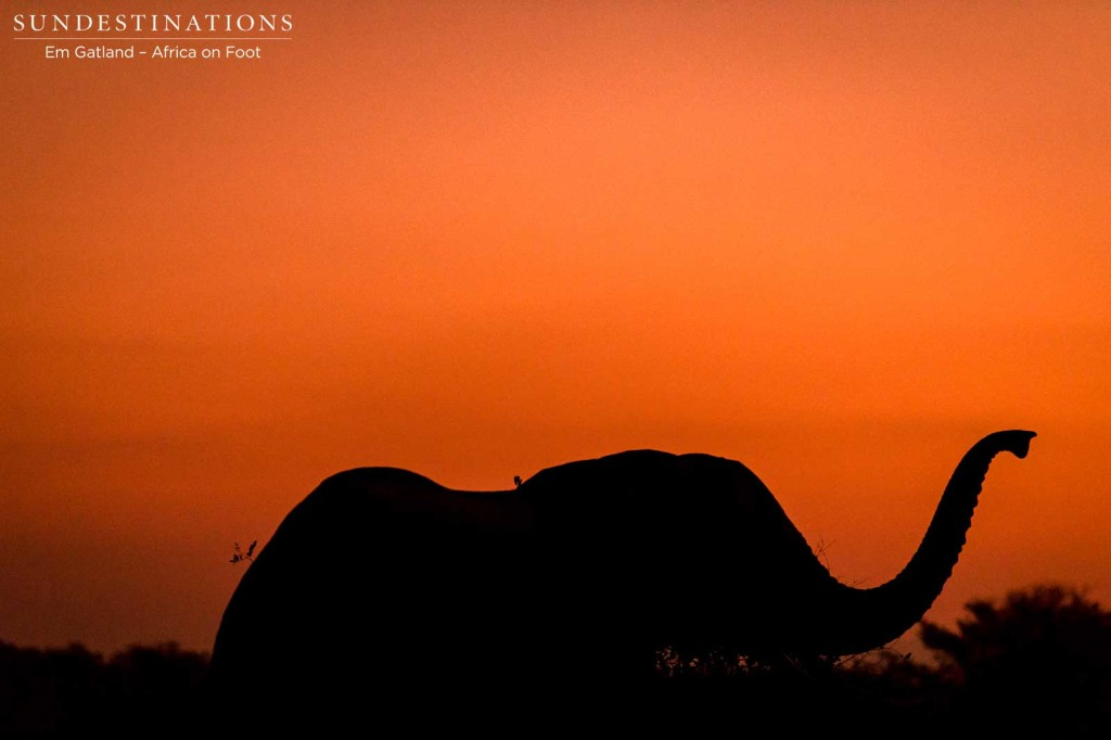 An elephants smells the air as the light begins to fade at sunset