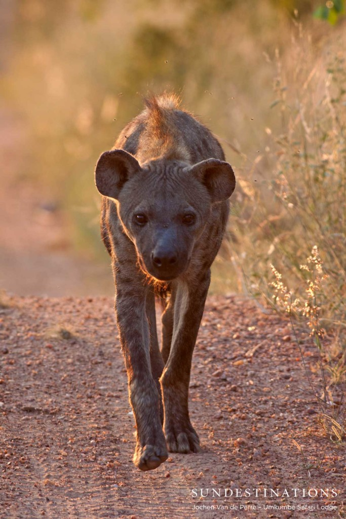 A hyena approaches a kill site at sunset, determining its way in to the feast