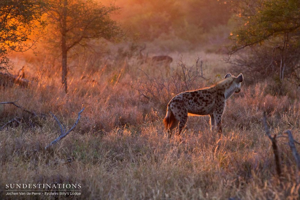 The sunrise illuminates a spotted hyena, certainly up to no good, while an impala nonchalantly grazes in the background