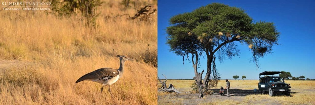 Kori bustard in Savuti, and stopping for a track inspection